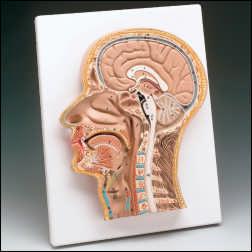 anatchart,model,head,median,section,head,neck,brain,nose,mouth,larynx,vertebral,column,bones,spine,vertebrae,buccal,cavity