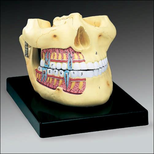 anatchart,model,skull,jaw,teeth,palate,mandible,numbered