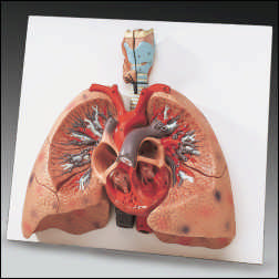 anatchart,model,lungs,heart,larynx,sectioned,painted,numbered,labeled,parts