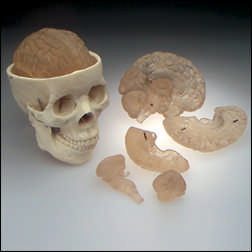 anatchart,model,skull,jaw,calvarium,dissectable,part,brain,translucent,cranial,cavity,lobe,stem