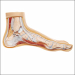 anatchart,model,foot,bone,muscle,arched,tibia