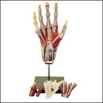 anatchart,model,hand,muscles,forearm,bones,skeleton,palmar,parts,dissectable,vessels,stand