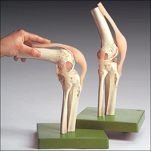 anatchart,model,knee,joint,flexible,ligaments,bone,cartilage,flexion,extension,rotation,dissectable,Somso-Modelle