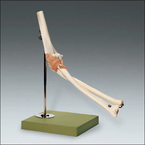 anatchart,model,skeleton,bones,joint,elbow,ligament,cartilage,movement,moveable,forearm,humerus,radius,ulna,flexion