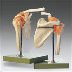 anatchart,model,shoulder,joint,flexible,ligaments,bone,cartilage,movements,rotation,Somso-Modelle