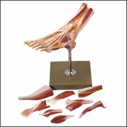 anatchart,model,skeleton,bones,landmarks,foot,muscles,anatomy,leg,replica,nerves,dissectible