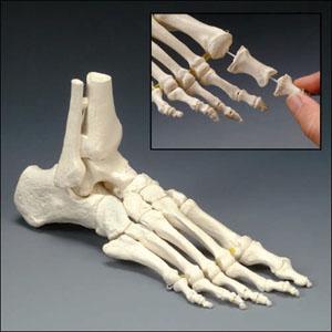 anatchart,model,foot,bones,tibia,fibula,ankle,toe