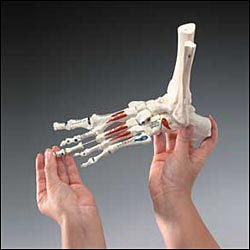 anatchart,model,foot,bones,tibia,fibula,ankle,insertion,landmark,muscle,toe