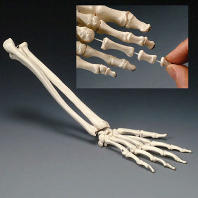 anatchart,model,hand,wrist,joint,bones,metacarples,fingers,ulna,radius,thumb