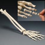 anatchart,model,wrist,hand,bones,forearm,metacarples,radius,ulna