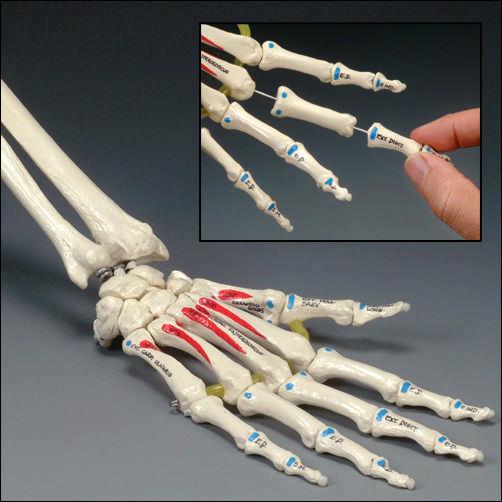 anatchart,model,wrist,hand,bones,palm,forearm,ulna,radius,metacarpals,insertions,landmarks,muscle,origins,joint