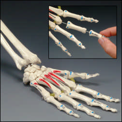 anatchart,model,wrist,hand,bones,palm,forearm,ulna,radius,metacarpals,insertions,landmarks,muscle,origins,joint