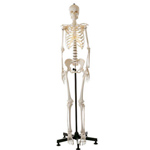 anatchart,model,skeleton,female,natural,cast,life,bones,ilium,landmarks,removable,joints,movable,detach,legs,feet,skeletal,stand,Somso-Modelle