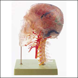 anatchart,model,head,neuroanatomy,neuro,cranial,brain,skull,transparent,cervical,vertebrae,cytoarchitectural,areas,nerves,arterial,arteries,artery,dissects,parts,neck,Somso-Modelle