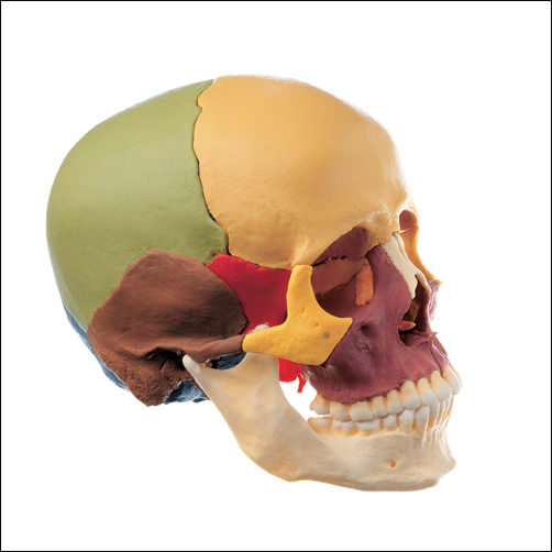 anatchart,model,skull,disarticulated,parts,dissects,dissectible,dismantled,reconstructed,sphenoid,occipital,temporal,bones,parietal,frontal,ethmoid,vomer,maxilla,facial,maxillary,cranial,zygomatic,mandible,joints,assemble,color,coded,Somso-Modelle