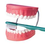 anatchart,model,teeth,mouth,gums,brushing,toothbrush