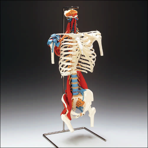anatchart,model,skeleton,skeletal,torso,rib-cage,removable,parts,disarticulated,muscles,ligaments,plexus,nerve,thoracic,lumbar,pelvis,femoral,rotator,nerves