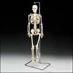 anatchart,model,skeleton,bones,articulated,ribs,pelvis,arms,legs,femur,humerus,radius,ulna,hand,tibia,fibula,skull,mandible,jaw,nerves
