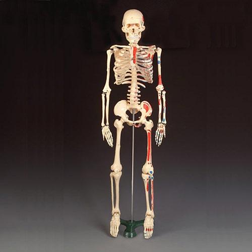 anatchart,model,skeleton,bones,articulated,ribs,pelvis,arms,legs,femur,humerus,radius,ulna,hand,tibia,fibula,skull,mandible,jaw