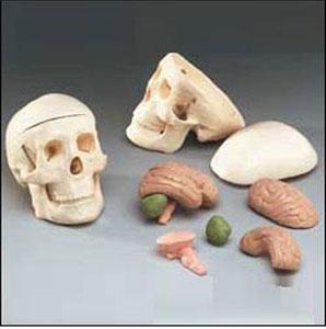 anatchart,model,skull,jaw,foramen,styloid,occipital,sphenoid,ethmoid,vomer,mandible,parietal,temporal,palantine,nasal concha,maxilla,teeth,lacrimal,zygomatic,nasal,brain