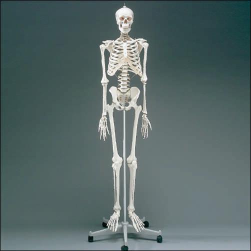 anatchart,model,skeleton,skeletal,bones,flexible,spinal-cord,detachable,nerves,skull,pelvis,torso,arms,legs
