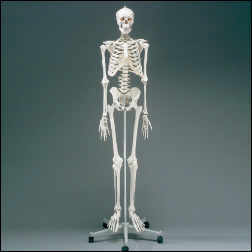 anatchart,model,skeleton,skeletal,bones,flexible,spinal-cord,detachable,nerves,skull,pelvis,torso,arms,legs