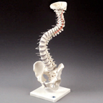 anatchart,model,vertebral,column,spine,discs,demonstrate,bending,compression,nerve,branches,stand