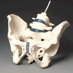 anatchart,model,female,pelvis,disc,lumbar,l4,l5,vertebra,vertebrae,sacrum,hip,pelvis,coccyx